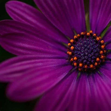 flower photography aubergine purple flower photography amethyst original