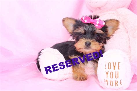 carolina yorkie breeders yorkie puppies for sale in carolina yorkie