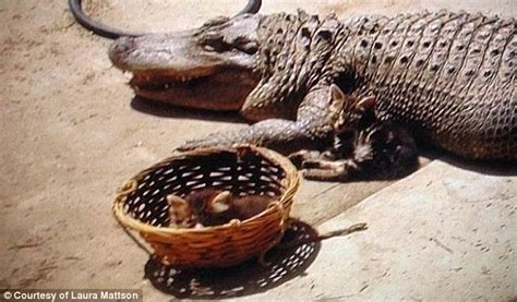 Found In Backyard by 8 Foot Crocodile Pet Found In A Backyard In La Capital Otc