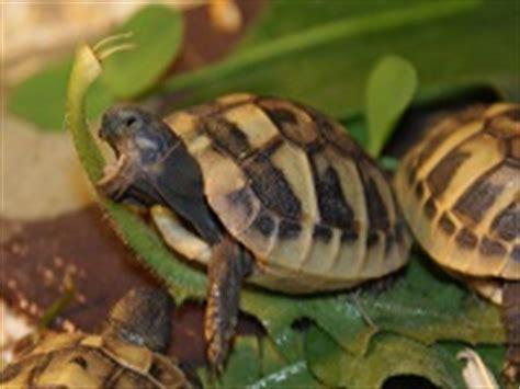 tartarughe alimentazione alimentazione tartarughe terrestri tartapedia