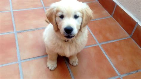 golden retriever rage this golden retriever go on a delightful rage cachorro golden retriever contento