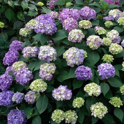 shrubs for shade zone 6 hydrangea bloomstruck endless summer striking ultra cold hardy shade tolerant shrub