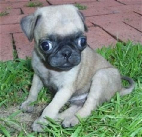 pug runt pug breed pictures 4