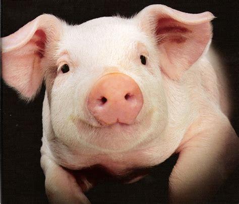 is pork bad for dogs i