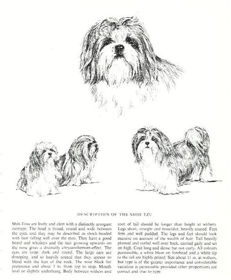 shih tzu country shih tzu vintage prints gifts and artwork from dogsonthenet