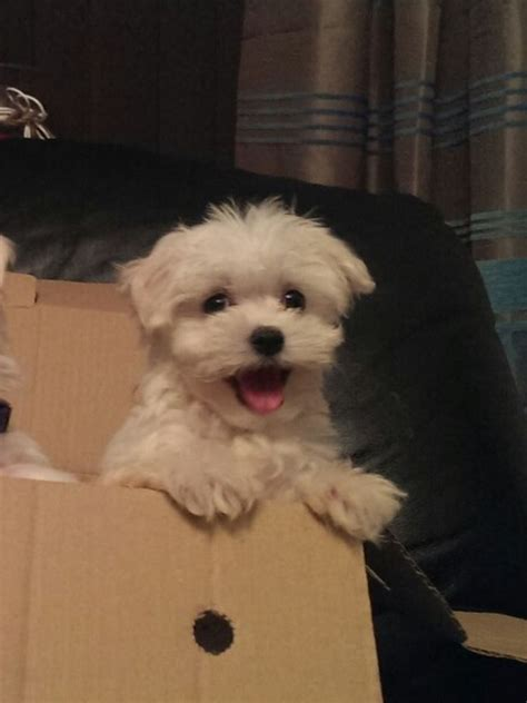 maltese puppies for sale maltese puppies for sale hartlepool county durham