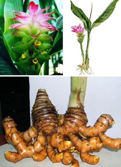 daftar macam macam tanaman obat  khasiatnya