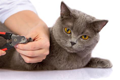 peut on couper les griffes des chats comment et pourquoi couper griffes chat