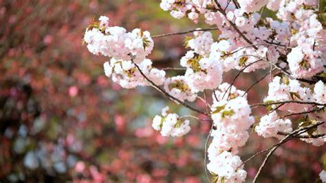 japanese sakura trees pink cherry blossom fruit shinjuku gyoen national park nature tokyo asia