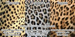 What Is The Difference Between A Jaguar And A Panther Difference Between Leopard And Jaguar Coat Difference
