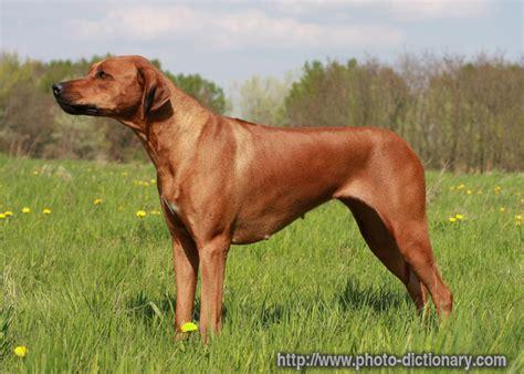 rhodesian ridgeback puppies rhodesian ridgeback junglekey fr image