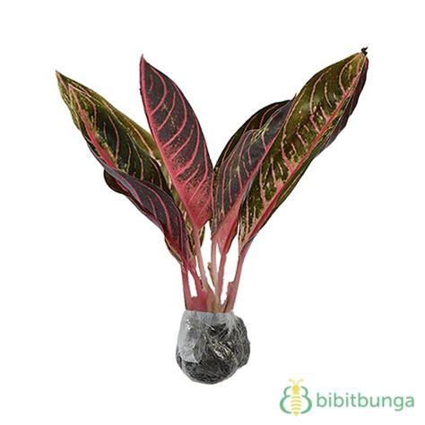 tanaman aglaonema pride  sumatra bibitbungacom