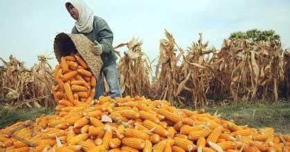 Mesin Pemipil Jagung Manis sulit memipil jagung mz 268 adalah solusinya mesin raya