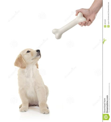 golden retriever bite golden retriever puppy about to bite a bone stock image image 4072431