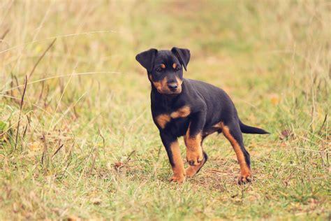 jagdterrier puppies german terrier puppies quotes