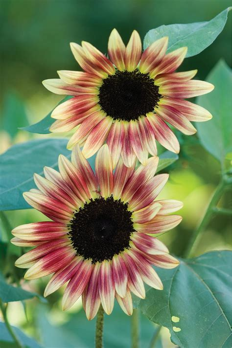colors of sunflowers 13 sunflower colors hgtv