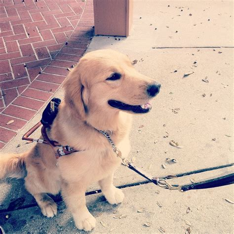 goldador puppies for adoption 17 best images about goldadors on service dogs puppys and labrador retriever