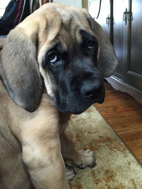 mastiff puppy best 25 mastiffs ideas on mastiff mastiff