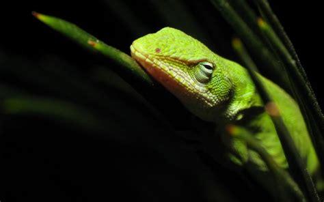 hd green lizard wallpaper