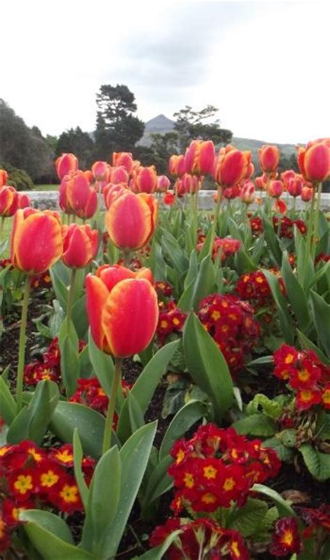 1000 images about aromatic tulips on pinterest gardens