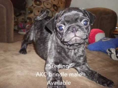 pugs for sale in ohio brindle pug puppies ohio images