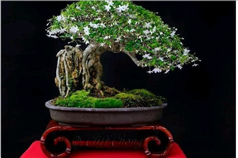 bonsai bunga melati jepang