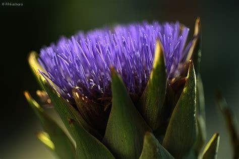 fiore di carciofo fior di carciofo juzaphoto