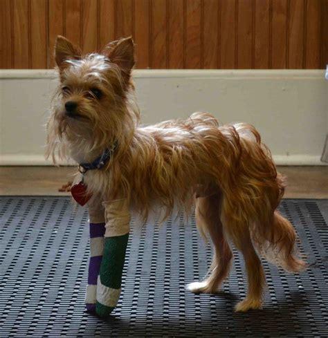 broken leg can t afford vet fundraiser by maureen curry help for the yorkie 2 broken legs