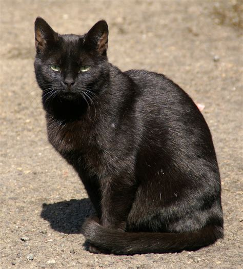 Meaning Of Black Cat At Your Door by Contributors The Cat Mag The Cat Mag