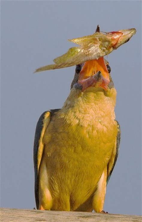 feeding habits of kingfishers bird ecology study group