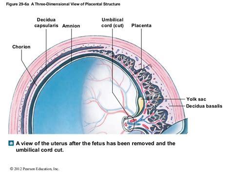 placenta amniotic sac diagram 169 ch 29 lecture presentation