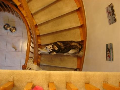 raised by cats this husky raised by cats acts like a cat bored panda