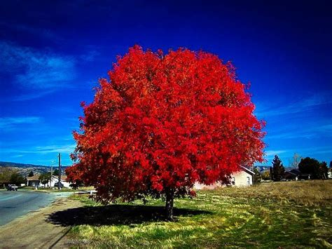 autumn blaze maple tree  sale  tree center