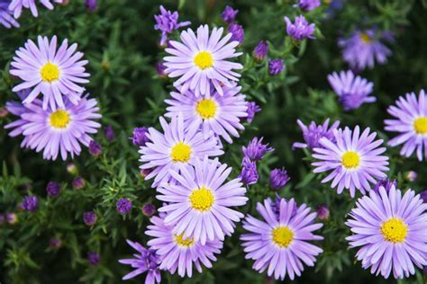 aster flower meaning flower meaning