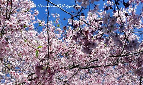 wallpaper hp bunga sakura wallpaper bunga sakura hd