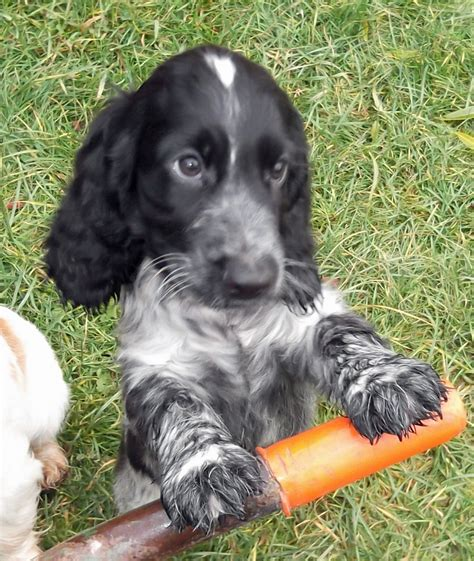 spaniel puppy show type cocker spaniel puppy gainsborough lincolnshire pets4homes