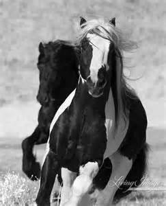 Gypsy Vanner Friesian Horses