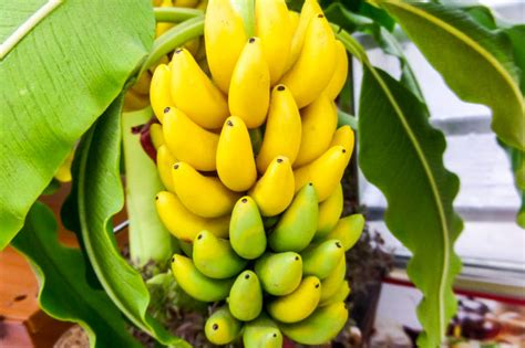 bananas on tree delicious and refreshing fruits of kerala healthyliving from nature buy
