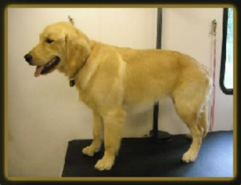 grooming golden retriever paws active paws mobile grooming cincinnati s mobile groomer grooming photo gallery