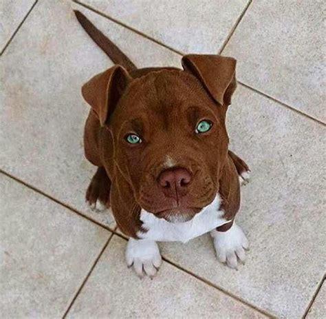 Puppies Pitbull best 25 pitbull puppies ideas on