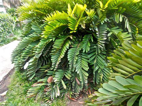 Palm Search Zamia Furfuracea Cardboard Palm Folhas Zamia Palms And