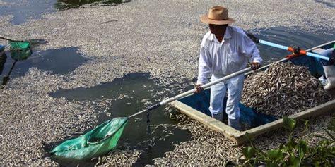 Bibit Ikan Arwana Di Bandung cuaca panas ribuan bibit ikan di waduk kedung ombo mati merdeka