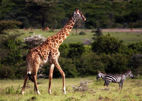 Zebra Lava L by Giraffe And Zebras By Michel Legare