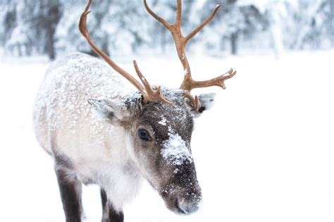amazing facts about the caribou reindeer onekindplanet