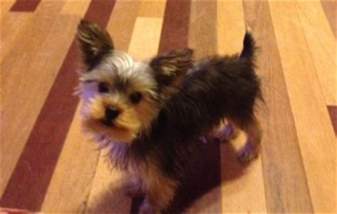 how big is a grown yorkie grown yorkie weight toby breeds picture
