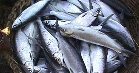 Benih Ikan Bandeng panduan budidaya bandeng peternakan perikanan