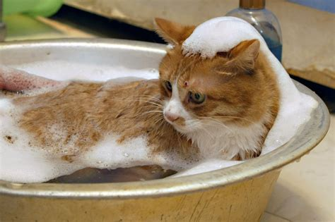 cat bathtub laifu the cat takes baths three times a week popsugar pets