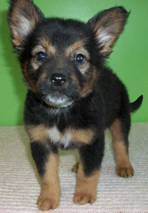 pomeranian doberman mix frosted flakes 10751 new lease on