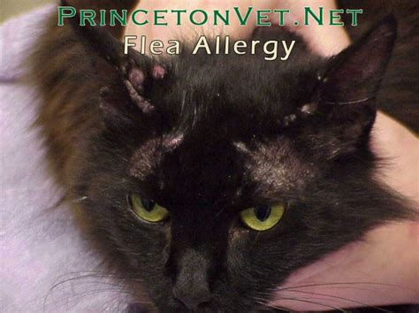 can dogs be allergic to cats some dogs and cats can develop an allergy to fleas called flea bite dermatitis only