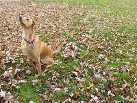 half golden retriever half pitbull golden retriever pitbull mix half golden retriever half pit breeds picture